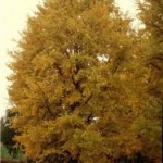 A Ginkgo Biloba Tree Is a Great Shade Tree and Fall Color Addition