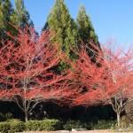 Washington Hawthorn Makes a Super Ornamental Tree Choice