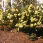 LimeLight Hydrangea 1