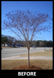 crapemyrtlepruningbefore